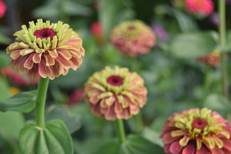 Zinnia 'Queen Red Lime'