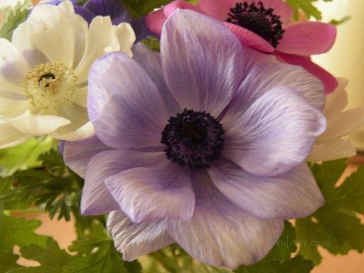 Pale purple Anemone