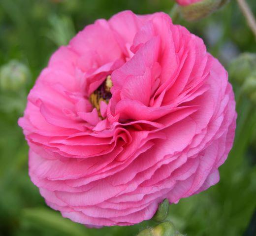 Soft pink Ranunculus