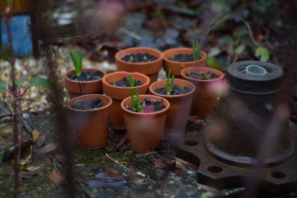 Group of terracotta pots with muscari bulbs