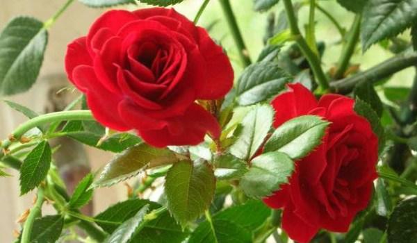 Комнатная миниатюрная роза уход в домашних условиях