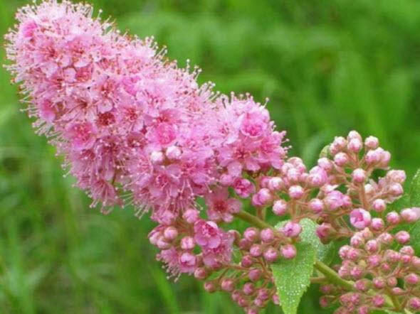 Правильная обрезка кустов спиреи после цветения