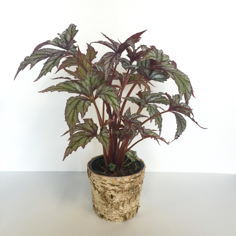 Dark Moody Rex Begonia Floral Sunshine
