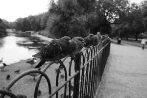 Pigeons in Finsbury Park