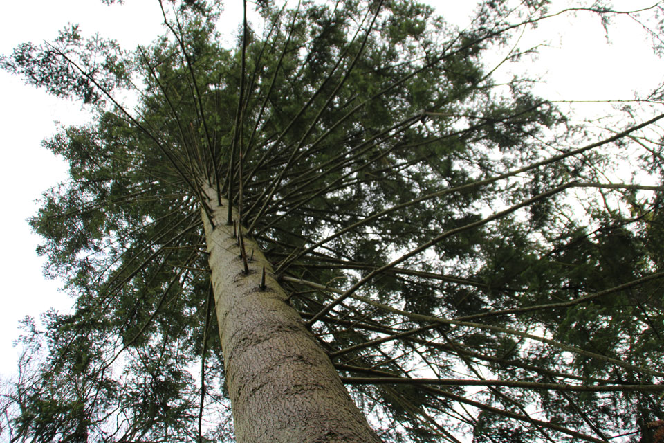 Пихта кавказская. Выращивание живучего хвойника. Описание пихты нордмана, посадка и уход за растением В каком месяце цветет пихта на кавказе