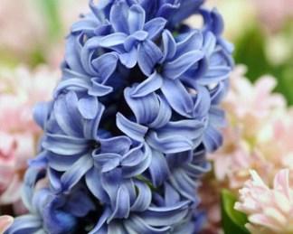 akciós blue star jácint