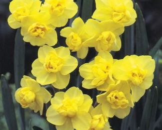 akciós narcissus yellow cheerfulness