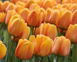 akciós tulipán blushing apeldoorn