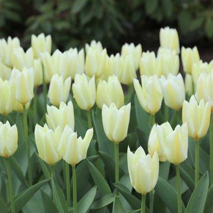 tulipán purissima fosteriana tulipán
