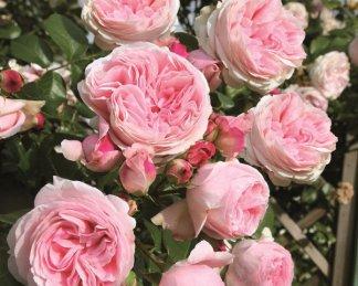 rózsa giardina kúszó rózsa futórózsa virágai