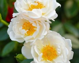 Bienenweide-weiss fehér miniatűr rózsa
