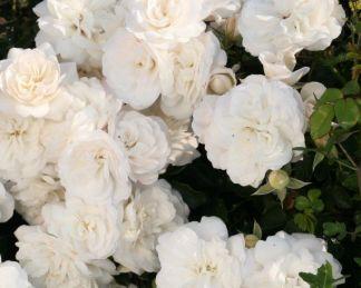 rosa kastelruther spatzen talajtakaró rózsa