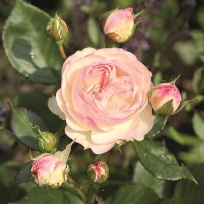 pastella ágyás rózsa