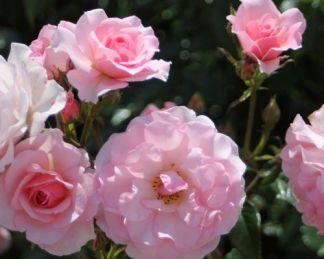 rosario bokorrózsa