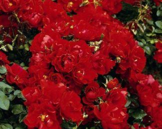 centro talajtakaró rózsa