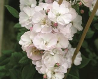 rózsa perennial blush