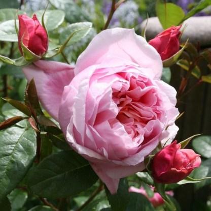 schone-maid nosztalgia teahibrid rózsa
