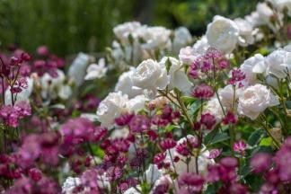 Rosa Aspirin® és Astrantia major 'Abbey Road' kombináció