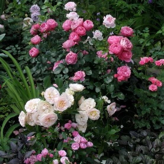 Rosa 'Leonardo da Vinci', 'Pastella', 'Mariatheresia' 'Lavender Ice'