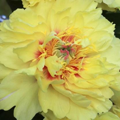 Paeonia Itoh 'Garden Treasure' - Itoh bazsarózsa hibrid 1 A többszörösen díjnyertes <strong>Paeonia Itoh 'Garden Treasure' - Itoh bazsarózsa hibrid</strong> sárgás virágokat hoz különösen gyönyörű belsővel, és finom citromos illattal! <ul>  <li><em>Kiszerelés: szabadgyökerű</em></li> </ul>