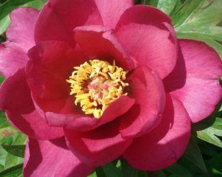 Paeonia Itoh 'Pink Ardour' - Itoh bazsarózsa hibrid