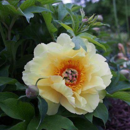 Paeonia Itoh 'Garden Treasure' - Itoh bazsarózsa hibrid