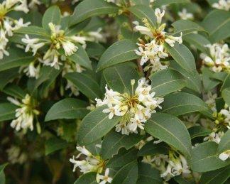 osmanthus burkwoodii levele és virágja