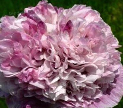 Papaver paeoniflorum 'Violet Blush'