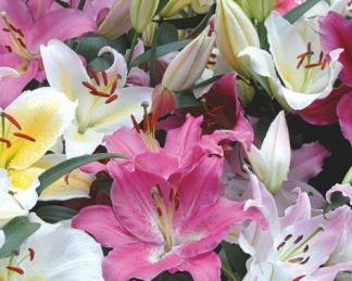 Ázsiai liliom hibridek