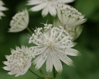 Astrantia major 'Snow Star' - Völgycsillag