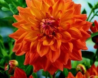 dahlia-ace-summer-sunset dekoratív dália florapont