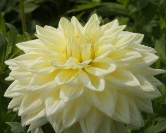 dahlia alvas supreme dekorativ dália florapont