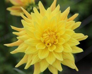 Gerber Vulcan Kaktusz dália sárga