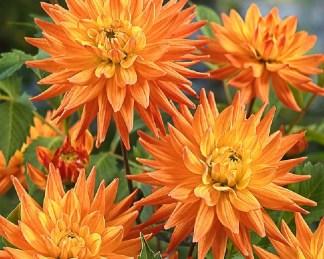 dahlia-karma-corona sárga dekoratív dália