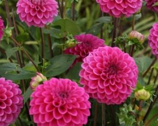 dahlia-purple-fox - labda dália ciklámen színű virágai