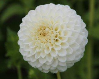 dahlia-ryecroft-jan labda virágú dália fehér virága