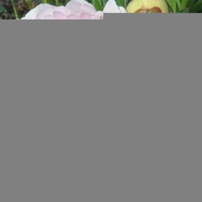 Paeonia lactiflora 'Blush Queen' 1 A pünkösdi rózsák királynője. Kellemesen illatos, gyönyörű színű lágyszárú bazsarózsa. <ul>  <li><em>Kiszerelés: szabadgyökerű</em></li> </ul>