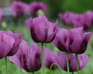 papaver hungarian blue