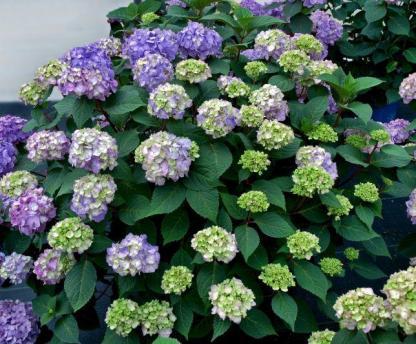 Hydrangea macrophylla 'Endless Summer Bloomstar' - hortenzia 1 A<strong>z Endless Summer </strong>kollekció nagyvirágú, kb. 9-13 cm átmérőjű virágokkal díszíti a kertet.  <em>Kiszerelés: konténer, 3 l, 30/40 cm</em>