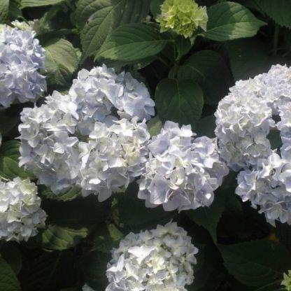 Hydrangea-macrophylla-Endless-Summer-thebride - kerti hortenzia halvány kék virága