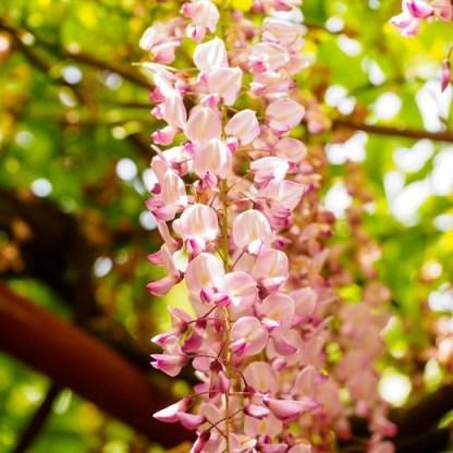Wisteria-floribunda-showa-beni lilaakác virágai