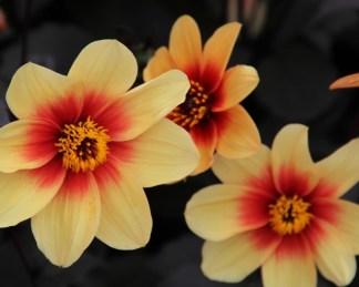 Egyszerű virágú dália sunshine