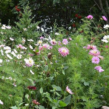 Dália és pillangóvirág párosítás 1