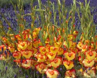 gladiolus-primulinus-las-vegas kardvirág alacsony