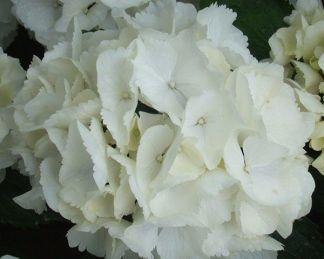 hydrangea-macrophylla-schnee-ball-hortenzia