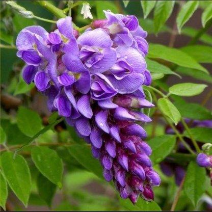 wisteria-frutescens-amethyst-fall