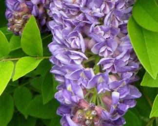 wisteria-frutescens-longwood-purple