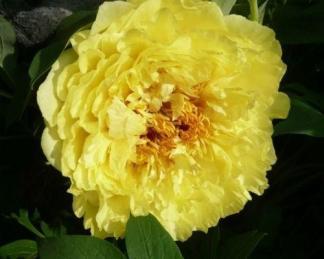 Paeonia Itoh 'Yellow Crown' - Itoh bazsarózsa hibrid