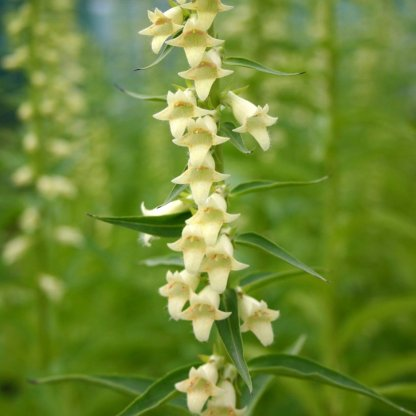 Digitalis lutea 'Small Yellow Foxglove'