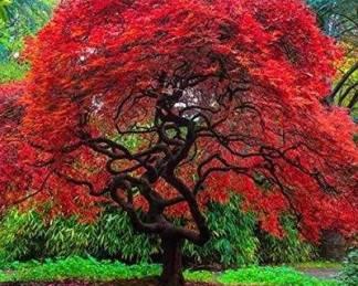 Japán juhar - Acer palmatum